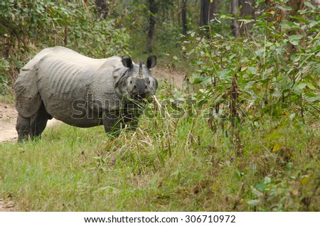 rhinoceros, plural rhinoceroses, rhinoceros, or rhinoceri,   any of five or six species of giant, horn-bearing herbivores that include some of the largest living land mammals. - stock photo