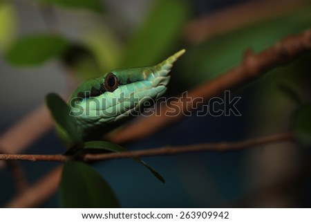 Rhinoceros Ratsnake {Rhynchophis Boulengeri} Also Known as (Rhinoceros Snake, Rhino Rat Snake, Vietnamese Longnose Snake, or Green Unicorn) Coiled on a Tree Branch with Tongue Showing - stock photo