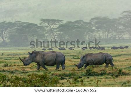 rhinos in the morning light - stock photo