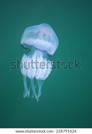 Rhizostoma. Dangerous jellyfish of the Black sea, has long tentacles with stinging cells which can leave burns on the human skin - stock photo