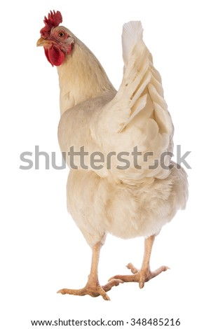 Rhode Island white chicken hen back side looking forward isolated on white background