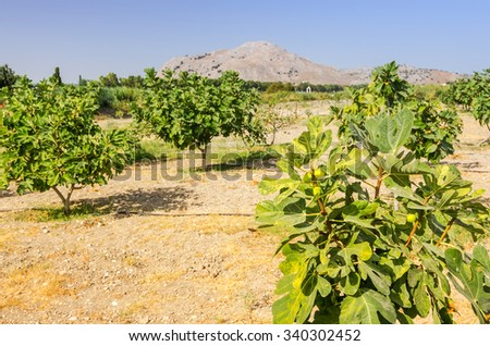 Rhodes fig plantation - stock photo