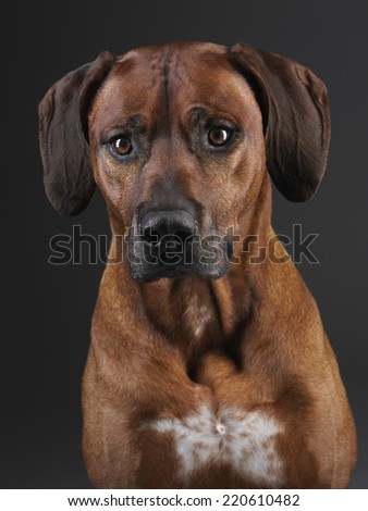rhodesian ridgeback dog - stock photo