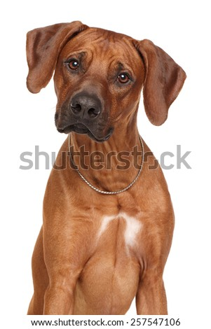Rhodesian Ridgeback dog breed. Portrait isolated on white background - stock photo