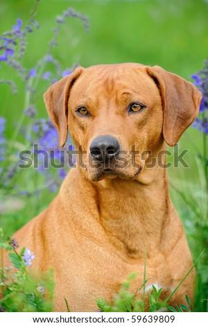 Rhodesian Ridgeback Dog in the meadow - stock photo