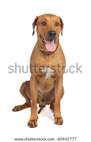 Rhodesian Ridgeback dog isolated on a white background - stock photo
