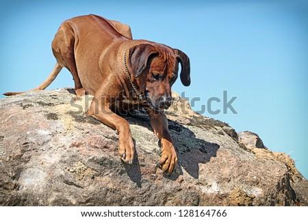 Rhodesian Ridgeback dog lie down on a rock - stock photo