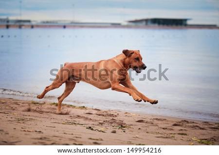 Rhodesian Ridgeback dog on the beach in the water - stock photo
