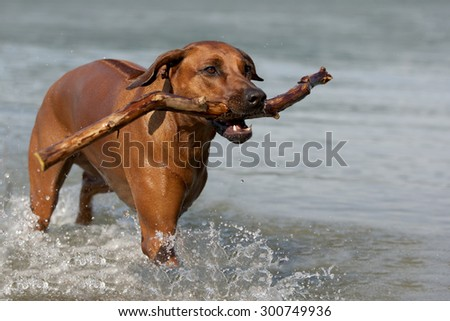 Rhodesian Ridgeback dog playing in the water