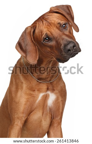 Rhodesian Ridgeback dog portrait isolated on white background - stock photo