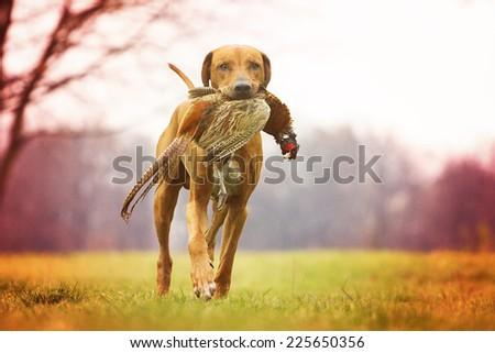 rhodesian ridgeback dog puppy hunting pheasant - stock photo