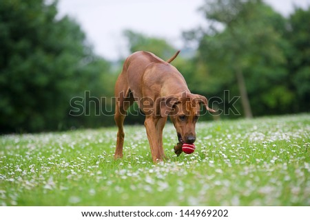 Rhodesian ridgeback dog puppy in a field of chamomile flowers plating with a dog toy ball - stock photo