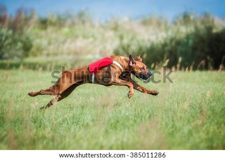 Rhodesian ridgeback dog running on lure coursing competition - stock photo