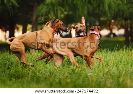 Rhodesian Ridgeback dogs playing together in summer