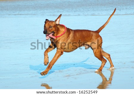 Rhodesian Ridgeback hound dog running in the water - stock photo