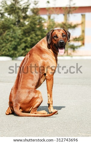 Rhodesian Ridgeback in the street