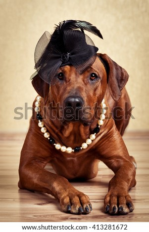 Rhodesian Ridgeback lady dressed in black hat and pearl necklace - stock photo