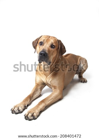 Rhodesian ridgeback laying on white background, Rhodesian ridgeback dog