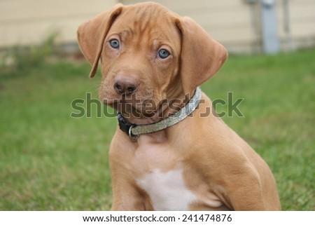 Rhodesian Ridgeback Puppy - stock photo