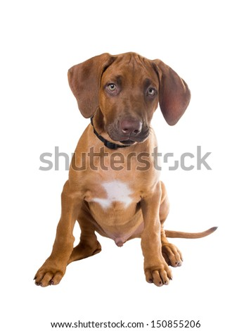 Rhodesian ridgeback puppy is sitting on a white background