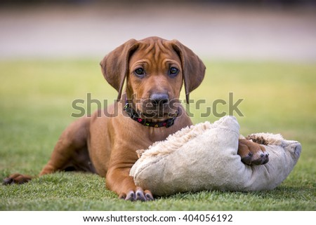 Rhodesian ridgeback puppy laying on the grass with a paw on his pillow looking towards the camera.