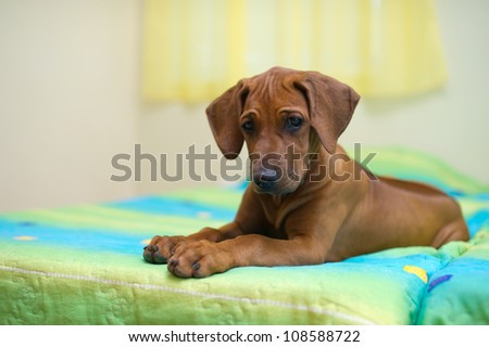 Rhodesian ridgeback puppy relaxing on a bed - stock photo