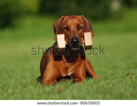 Rhodesian ridgeback training obedience