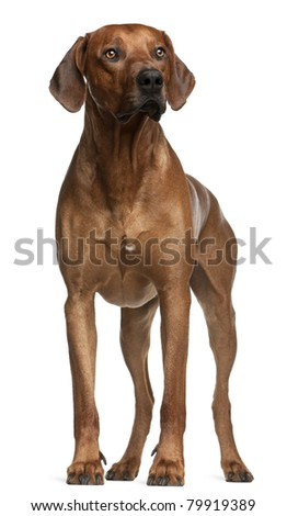Rhodesian Ridgeback, 2 years old, standing in front of white background - stock photo