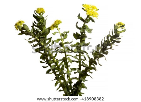 Rhodiola rosea isolated on white background.