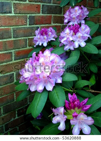 Rhododendron Against Brick Wall - stock photo