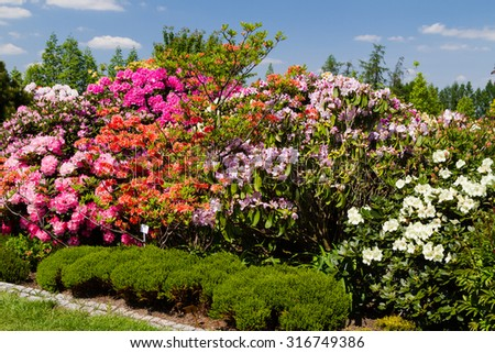 Rhododendron and azalea in the garden. - stock photo