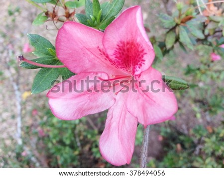Rhododendron (Azalea) - stock photo