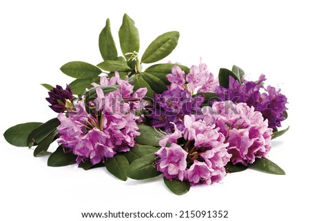Rhododendron blossoms (Rhododendron) - stock photo