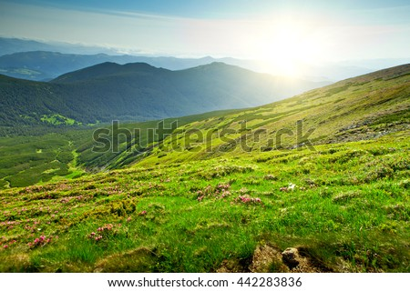 Rhododendron bush flowers in the mountains. Sunny summer evening. Beautiful sunset on the mountainside. Carpathians, Ukraine, Europe - stock photo