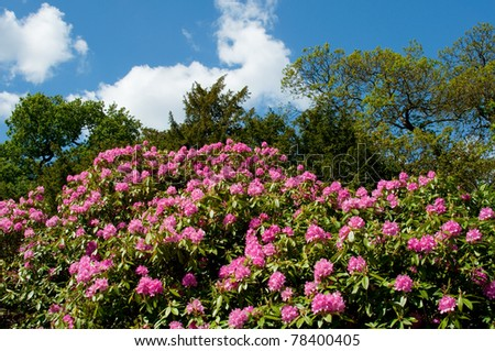 Rhododendron Bush in Spring - stock photo