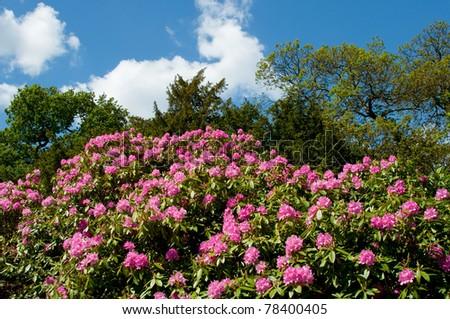 Rhododendron Bush in Spring - stock photo