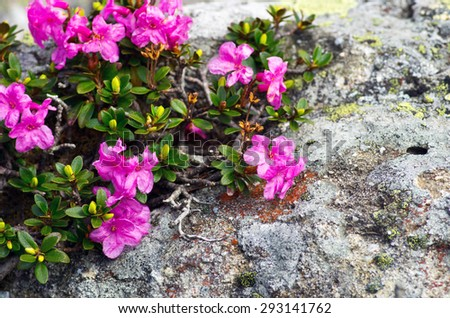 rhododendron in the Carpathians - stock photo