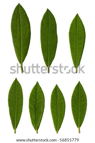 Rhododendron leaves isolated on white background. - stock photo