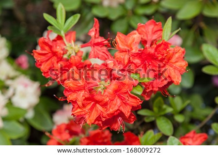 Rhododendron ponticum is a dense, suckering shrub or small tree native to southern Europe and southwest Asia. - stock photo