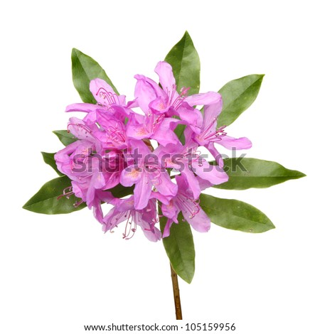 Rhododendron ponticum purple flowers and leaves isolated against white - stock photo