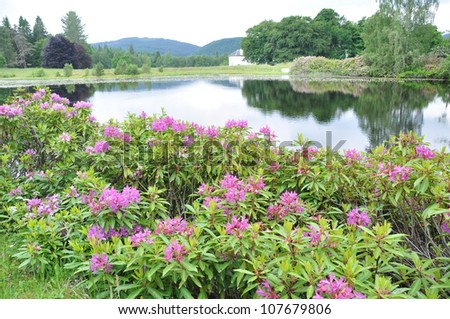 Rhododendron shrub beside a small lake