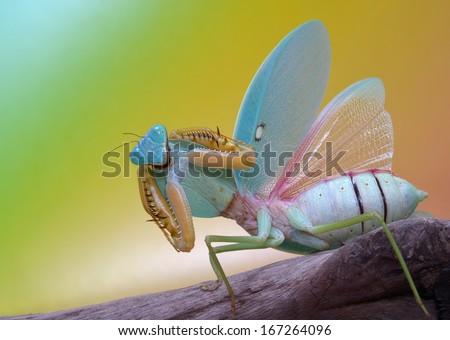 Rhombodera show her amazing wings - stock photo