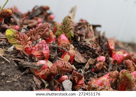 Rhubarb emerging - stock photo