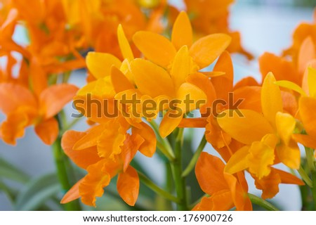 Rhyncattleanthe Young-Min Orange 'Orchis' - stock photo