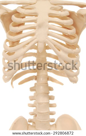 Rib cage of a skeleton - stock photo