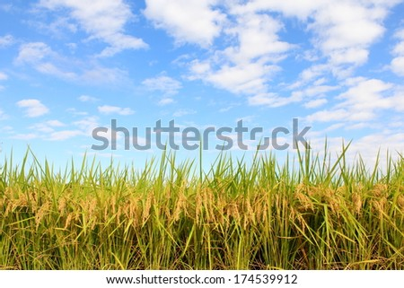 Rice and autumn sky - stock photo