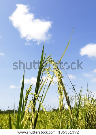 Rice Crop for Harvest