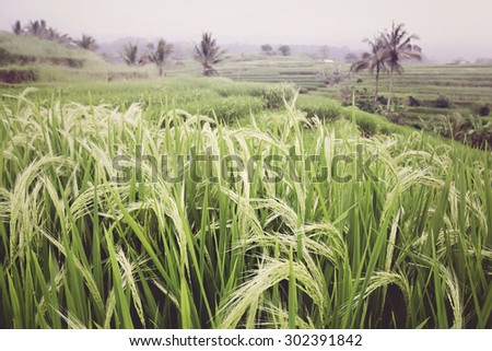 Rice cultivation, fields in Bali - stock photo