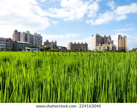 rice farm - stock photo