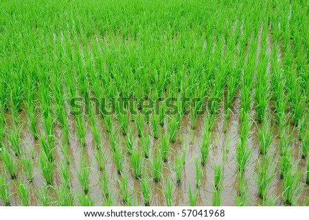 rice farm - stock photo